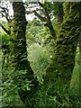 C6804 : Moss and ferns on sessile oak - Banagher Glen Nature Reserve by Phil Champion