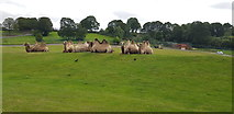 SO8075 : Camels at West Midlands Safari Park by Paul Collins