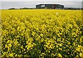NO5604 : A crop of oil seed rape by Richard Sutcliffe