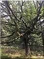 SK2579 : Twisted tree on Lawrence Field by Graham Hogg
