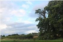 SK9342 : Hedgerow by Lincoln Road, Honington by David Howard