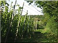 : Hop field South of Horsmonden by Oast House Archive