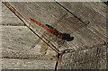 SX9065 : Dragonfly, Torquay by Derek Harper