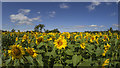 C9607 : Sunflowers near Portglenone by Rossographer