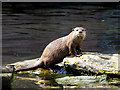 SD4214 : Martin Mere Wetland Centre, Asian Short-clawed Otter by David Dixon