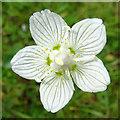 NH8621 : Grass of Parnassus (Parnassia palustris) by Anne Burgess