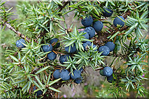 NH8521 : Juniper Berries by Anne Burgess