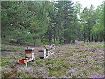 NH8520 : Beehives in the Heather by Anne Burgess