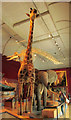 SX9192 : Gerald the Giraffe, RAMM by Derek Harper