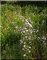 SX9066 : Michaelmas daisies, Nightingale Park by Derek Harper