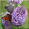 NS3174 : Peacock butterflies on a butterfly bush by Thomas Nugent