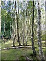 TQ4429 : Silver Birch in  Ashdown Forest by Oliver Dixon