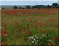 TM4454 : Poppies near Cowton House by Mat Fascione
