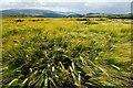 SO2868 : Windswept field of Barley next to Offa's Dyke by Jeff Buck