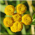 NJ4668 : Tansy Flowers by Anne Burgess
