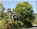NH6855 : Camperdown elm, Rosehaugh by Craig Wallace