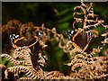 NS4288 : Red Admiral butterflies on dry bracken by Lairich Rig