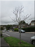 ST3090 : Dead tree, Rowan Way, Malpas, Newport by Jaggery