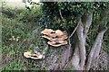 TF0327 : Polyporus squamosus by Bob Harvey