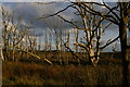 TM4357 : Dead trees at the edge of the former Hazlewood Marshes by Christopher Hilton