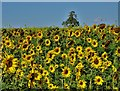 SK7574 : Sunflowers south of Prospect Farm by Neil Theasby