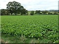 NY5245 : Arable crop, between Aimbank and Faugh Head by Christine Johnstone