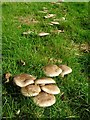 SO7138 : Fungi in a field by Philip Halling