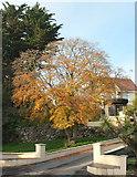 SX9364 : Tree, Ilsham Marine Drive, Wellswood by Derek Harper