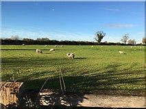 SJ3654 : Sheep grazing in a field off Hoseley Lane by Richard Hoare