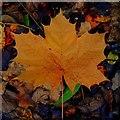 SO7119 : Maple leaf by Jonathan Billinger