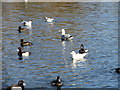NZ2561 : Tufted Ducks on Saltwell Park lake by Robert Graham