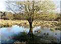 TG2105 : Willow in flooded pasture on Marston Marsh by Evelyn Simak