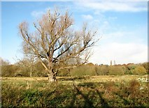 TG2105 : Old willow tree in a pasture on Marston Marsh by Evelyn Simak