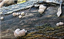 TG2105 : King Alfred's Cakes (Daldinia concentrica) by Evelyn Simak