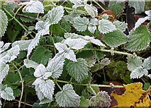 TG2105 : Frosted nettles by Evelyn Simak