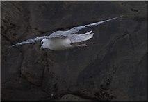 HT9541 : Fulmar (Fulmarus glacialis), Ristie Nesses, Foula by Mike Pennington