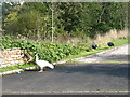 NY4640 : An albino peacock in Calthwaite by David Purchase