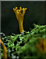 S7038 : Stagshorn Fungus by kevin higgins