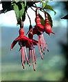 S7038 : Wild Fuchsia by kevin higgins