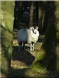 SK2077 : Sheep in Four Acre Plantation by Neil Theasby