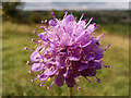 SU4827 : Devil's-bit scabious (Succisa pratensis) on St Catherine's Hill, Winchester by Phil Champion