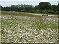 SO8943 : Moon daisies and hay bales by Philip Halling
