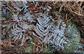 NT9517 : Frosty bracken, Linhope Spout by Derek Harper