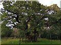 SK6267 : The Major Oak, Sherwood Forest by Phil Champion
