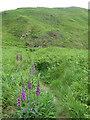 SN1247 : Foxgloves along the Pembrokeshire Coast Path by Mat Fascione