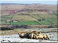 NY9241 : Sheep feeding on Northgate Fell by Trevor Littlewood