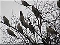 NZ3668 : Waxwings in Laurel Park, North Shields by Les Hull
