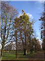 TF0406 : More mistletoe than tree by Jonathan Thacker