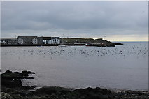 NX4736 : Gulls Aplenty, Isle of Whithorn by Billy McCrorie