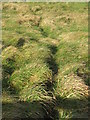 NT8469 : Animal track in rough grass by M J Richardson